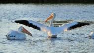 鹈鹕科——白鹈鹕图片_15张