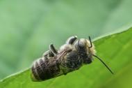 蜜蜂圖片_7張