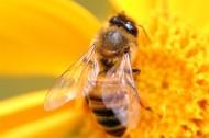 勤劳的小蜜蜂图片_10张