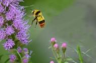 勤劳的蜜蜂图片_12张