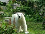 強壯的北極熊圖片_12張