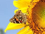 追逐向日葵的蝴蝶圖片_20張