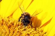 采花蜜的蜜蜂圖片_15張
