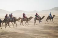 沙漠中的骆驼图片_13张