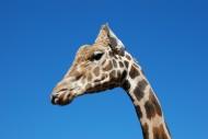 可爱长颈鹿头部特写图片_11张