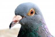 代表和平的鴿子圖片_22張