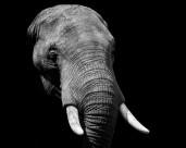 大象的頭部圖片_12張