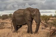 身形巨大的野生大象圖片_9張