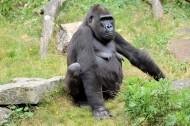 大猩猩圖片_7張
