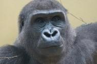 搞怪有趣的大猩猩圖片_17張