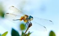 蜻蜓圖片_9張