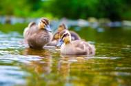 河里游泳的小鸭子图片_12张