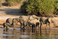 成群结队的大象图片_14张