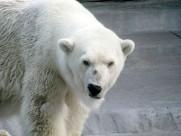可愛的北極熊圖片_13張