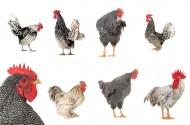 各种类型的鸡图片_11张
