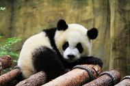 淘气的熊猫图片_11张