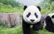 快乐玩耍的熊猫图片_5张