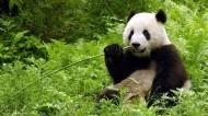 可爱大熊猫图片_6张