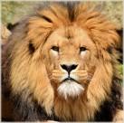 公獅子圖片_8張