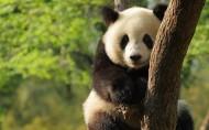 国宝熊猫图片_12张