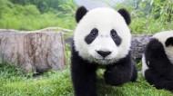 国宝大熊猫图片_15张