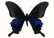 黑色蝴蝶標本圖片_27張