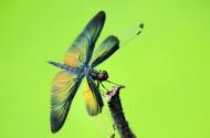 黑麗翅蜻圖片_10張