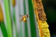 蜜蜂圖片_13張