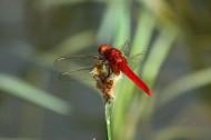 紅蜻蜓圖片_6張