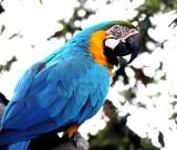 色彩漂亮的黄蓝金刚鹦鹉图片_15张