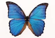 百種蝴蝶標本圖片_200張