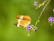 蝴蝶圖片_43張