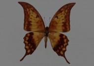 蝴蝶標本圖片_26張