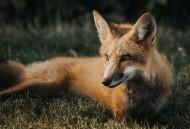 神秘靈氣的狐貍圖片_10張