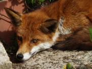 毛茸茸的狐貍圖片_10張