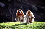 金丝猴图片_6张