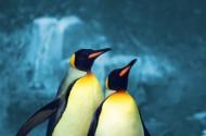 可爱企鹅图片_3张