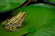 蓮池的青蛙圖片_8張