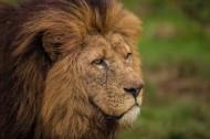 狮子图片_7张