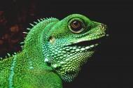 各种颜色的蜥蜴图片_26张