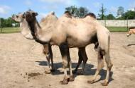 骆驼图片_21张