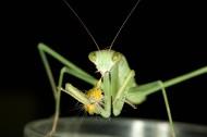 螳螂图片_8张