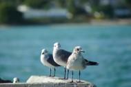 海鸥图片_12张