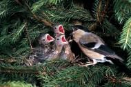 鸟儿妈妈喂食图片_3张