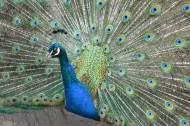 孔雀鸟类图片_23张