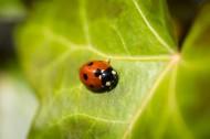 美麗的瓢蟲圖片_13張