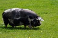猪图片_10张