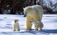 北極熊圖片_12張