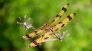 蜻蜓圖片 _15張