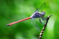 蜻蜓特寫圖片_8張